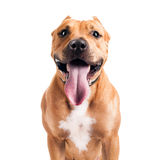 Le Staffordshire Terrier Image stock