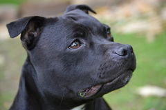 Le Staffordshire Terrier Photo stock