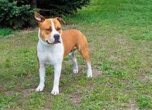Le Staffordshire Terrier américain écoute Photographie stock libre de droits