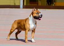 Le Staffordshire Terrier américain dans le profil Photos stock