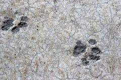 Le stampe del piede di gatto si sono asciugate in cemento sul pavimento del garage Immagini Stock Libere da Diritti
