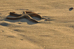 Le stelle marine hanno lavato in su sulla spiaggia di mattina fotografia stock libera da diritti
