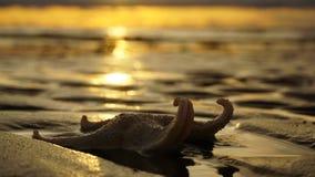 Le stelle marine hanno torto le sue gambe su un fondo del tramonto Immagini Stock