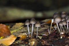 Le stipata de Mycena de champignon Image stock