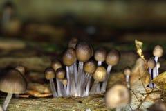 Le stipata de Mycena de champignon Photos stock