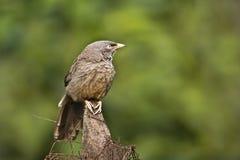 Le striata de Turdoides, bavard de jungle était perché sur un rondin, Bardia, Népal Photos stock