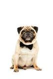 Le studio a tiré du chien drôle de roquet dans le noeud papillon Photographie stock libre de droits