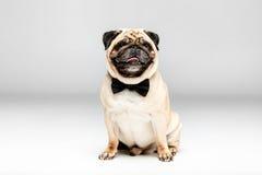 Le studio a tiré du chien mignon de roquet dans le noeud papillon Images libres de droits