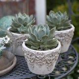 Le Succulent dans un pot est une excellente décoration pour la maison et le bureau image stock