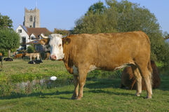 Le Suffolk R-U de vache laitière Images stock