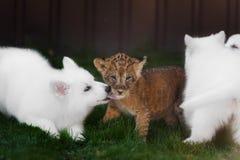 Le Suisse blanc Shepherds l'petit animal de chiot et de lion Photo libre de droits