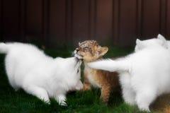 Le Suisse blanc Shepherds l'petit animal de chiot et de lion Photos stock