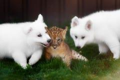 Le Suisse blanc Shepherds l'petit animal de chiot et de lion Image stock