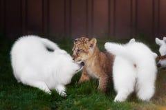 Le Suisse blanc Shepherds l'petit animal de chiot et de lion Images libres de droits