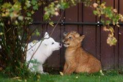 Le Suisse blanc Shepherds l'petit animal de chiot et de lion Image libre de droits