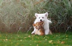 Le Suisse blanc Shepherds l'petit animal de chiot et de lion Photographie stock