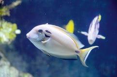 Le Surgeonfish de Doubleband Photos libres de droits