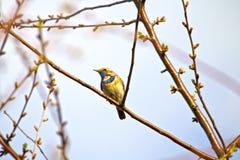 Le svecica latin de Luscinia de gorge bleue photos stock