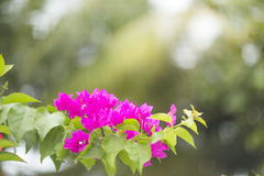 Le syarkimi fleurissant de buisson fleurit sur un fond brouillé Photographie stock