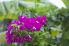 Le syarkimi fleurissant de buisson fleurit sur un fond brouillé Images libres de droits