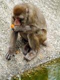 Le sylvanus de Macaque de Barbarie mange une orange dans le zoo image stock