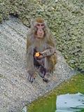 Le sylvanus de Macaque de Barbarie mange une orange dans le zoo photos stock