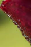 Le symbole de l'amour et photo de pétales de rose rouges romantiques de sentiments de la macro avec de l'eau chute Image stock