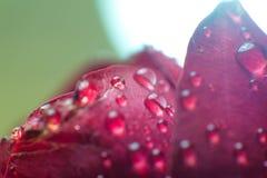 Le symbole de l'amour et photo de pétales de rose rouges romantiques de sentiments de la macro avec de l'eau chute Photo libre de droits