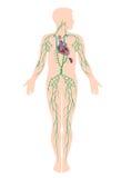 Le système lymphatique Photographie stock libre de droits