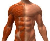 Le système musculaire Images stock