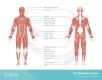 Le système musculaire Photographie stock libre de droits