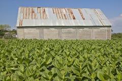 Le tabac laisse l'élevage en soleil près de la grange de tabac au Cuba central Photographie stock