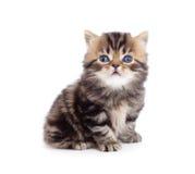 Le tabby pur les anglais de race de petit chaton a isolé Images stock