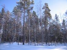 Le taiga sibérien image libre de droits