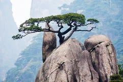 Le taiwanensis de pinus Images stock
