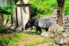 Le tapir adulte photos libres de droits