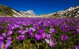 Le tapis du crocus sauvage de montagne fleurit chez Campo Imperatore, Abruzzo Photographie stock libre de droits