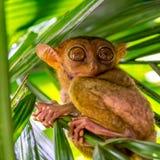 Le tarsier mignon dans Bohol photos stock