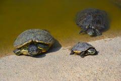 Le tartarughe Immagine Stock