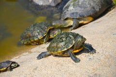 Le tartarughe Immagini Stock Libere da Diritti