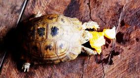Le tartarughe che stanno mangiando le arance sono deliziose fotografia stock libera da diritti