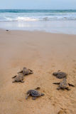 Le tartarughe del bambino che lo fanno è modo all'oceano Fotografia Stock