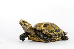 Le tartarughe interne in Asia sono chiamate & x22; Tartaruga, impressa di Manouria & x22 impressionati; su fondo bianco immagine stock