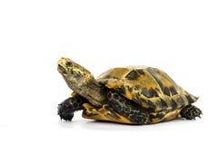 Le tartarughe interne in Asia sono chiamate & x22; Tartaruga, impressa di Manouria & x22 impressionati; su fondo bianco immagine stock libera da diritti