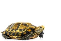 Le tartarughe interne in Asia sono chiamate & x22; Tartaruga, impressa di Manouria & x22 impressionati; su fondo bianco immagini stock
