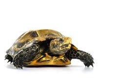 Le tartarughe interne in Asia sono chiamate & x22; Tartaruga, impressa di Manouria & x22 impressionati; su fondo bianco fotografie stock