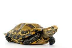 Le tartarughe interne in Asia sono chiamate & x22; Tartaruga, impressa di Manouria & x22 impressionati; su fondo bianco immagini stock libere da diritti