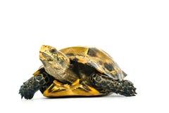 Le tartarughe interne in Asia sono chiamate & x22; Tartaruga, impressa di Manouria & x22 impressionati; su fondo bianco fotografia stock