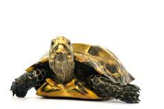 Le tartarughe interne in Asia sono chiamate & x22; Tartaruga, impressa di Manouria & x22 impressionati; su fondo bianco fotografie stock libere da diritti