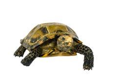 Le tartarughe interne in Asia sono chiamate & x22; Tartaruga, impressa di Manouria & x22 impressionati; su fondo bianco fotografia stock libera da diritti